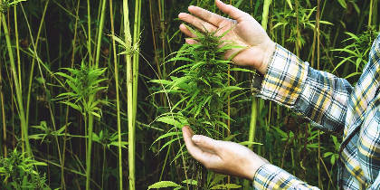 Here's how hemp could be used to clean up oil spills!