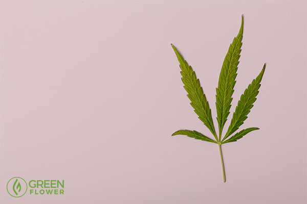 Cannabis leaf with pink background