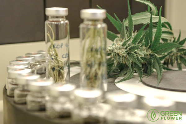 test tubes with cannabis samples