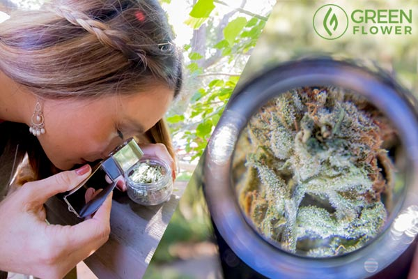 inspecting cannabis with microscope