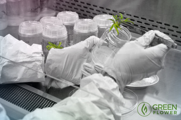 Scientists analyzing cannabis plant matter