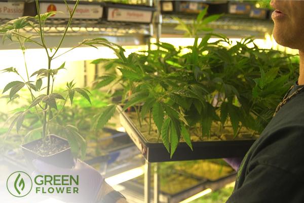 Holding a cannabis clone