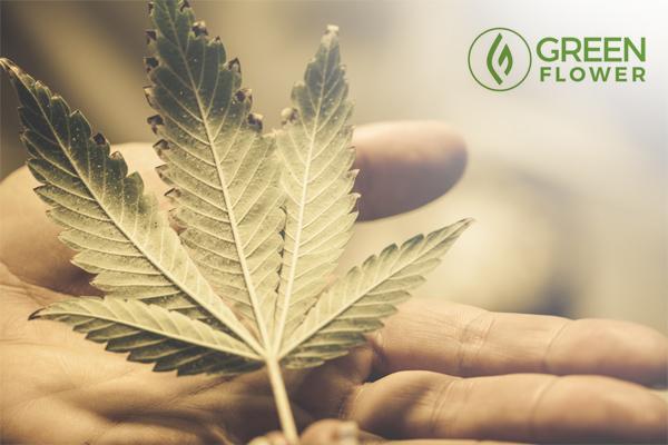 Holding a cannabis leaf