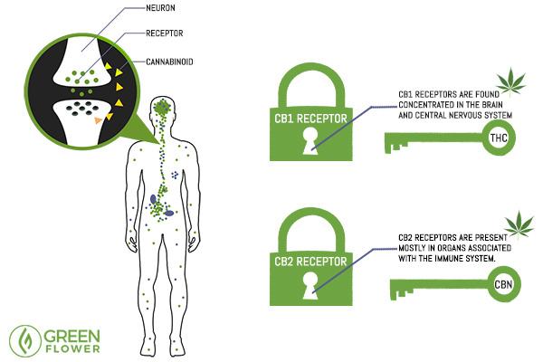 Endocannabinoid system diagram