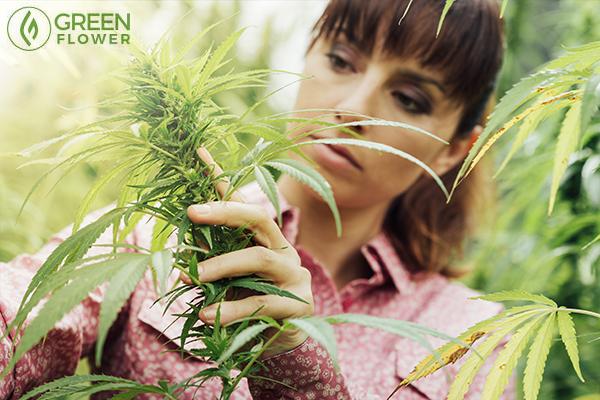Woman examining cannabis plant