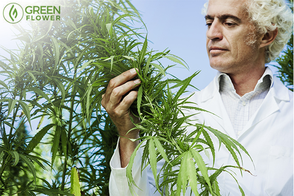 man inspecting cannabis plant