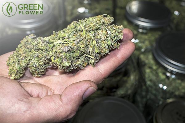Holding a cannabis bud