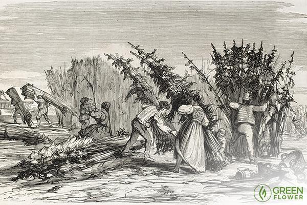 people harvesting hemp