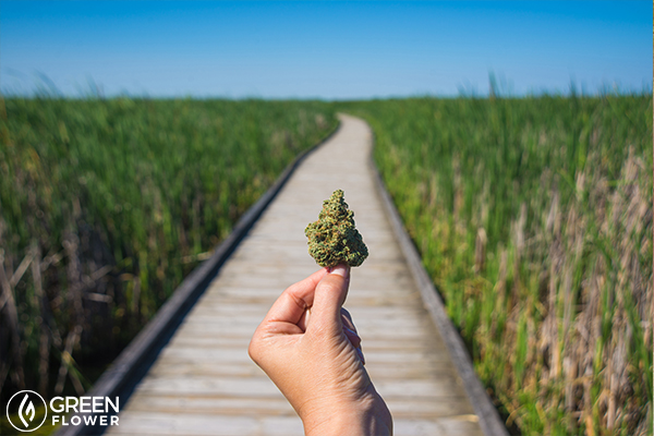 hand holding cannabis
