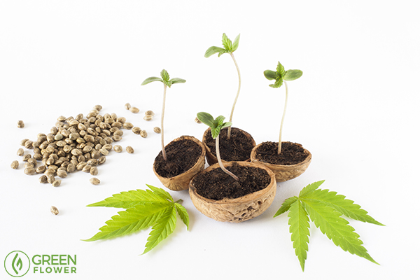 Cycle of Life: What Are the Stages of Growing Cannabis?