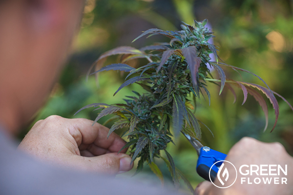 cutting cannabis plant