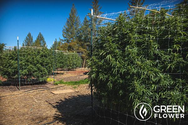 so many cannabis plants
