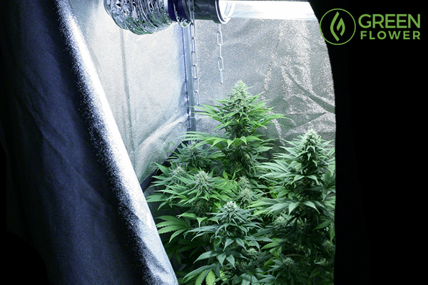 Growing Cannabis in a Closet – How to Keep it Small and Still Have