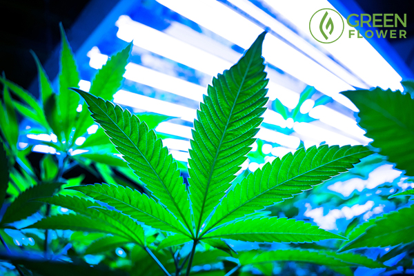 Led Lights Over Cannabis Plants