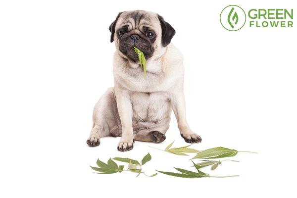 dog eating cannabis leaf