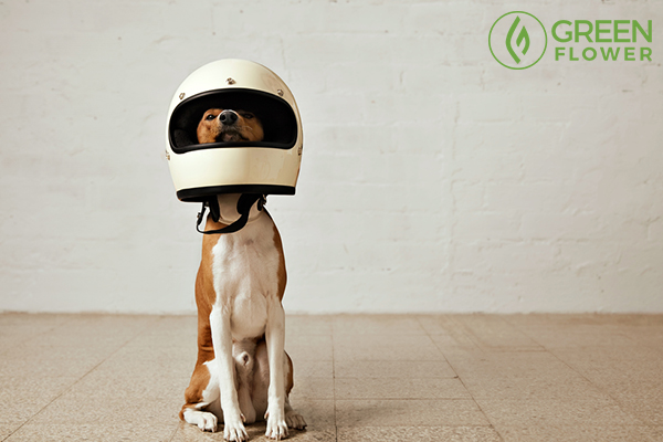 dog wearing helmet