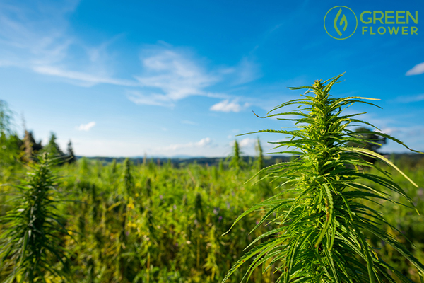 cannabis farm and blue sky