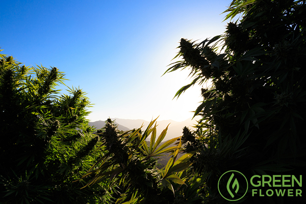 sunset view from cannabis field
