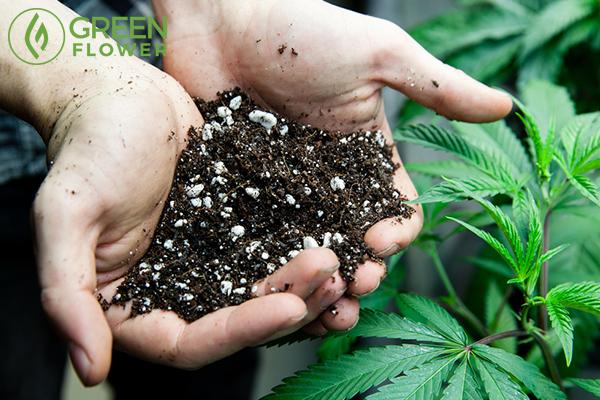 farmers holding rich soil for cannabis