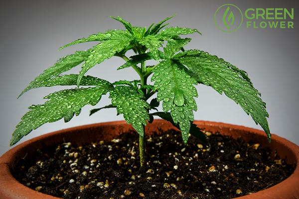 small cannabis plant
