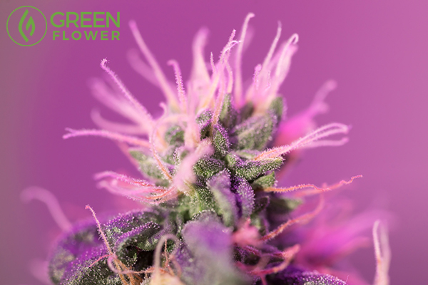 purple cannabis flower