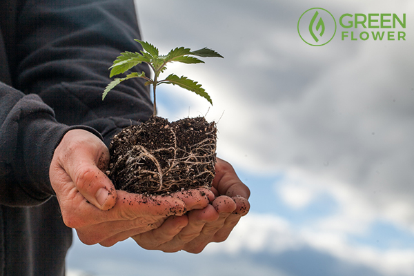 farmer holding cannabis plant