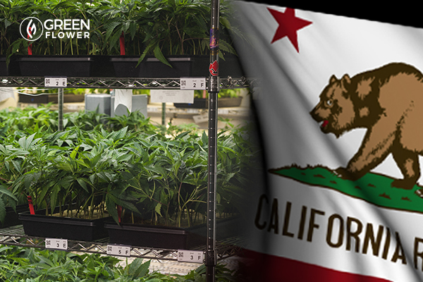 cannabis clones and california state flag