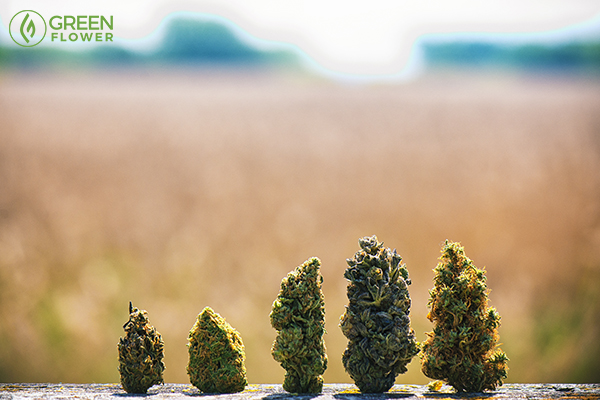 different types of cannabis strains