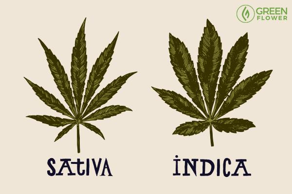 indica vs satvia