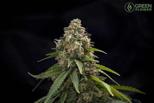 green crack cannabis flower