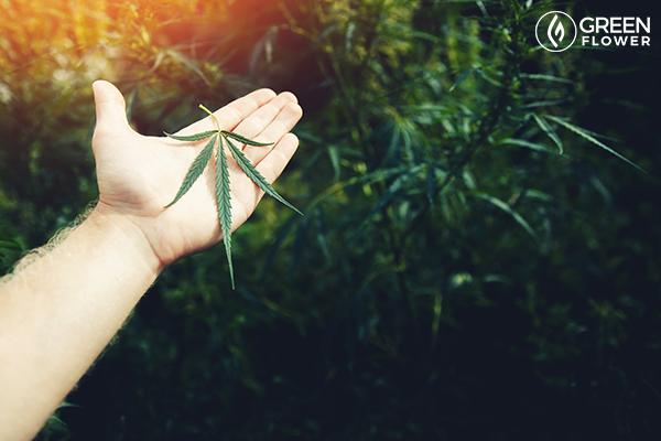 man holding cannabis leaf