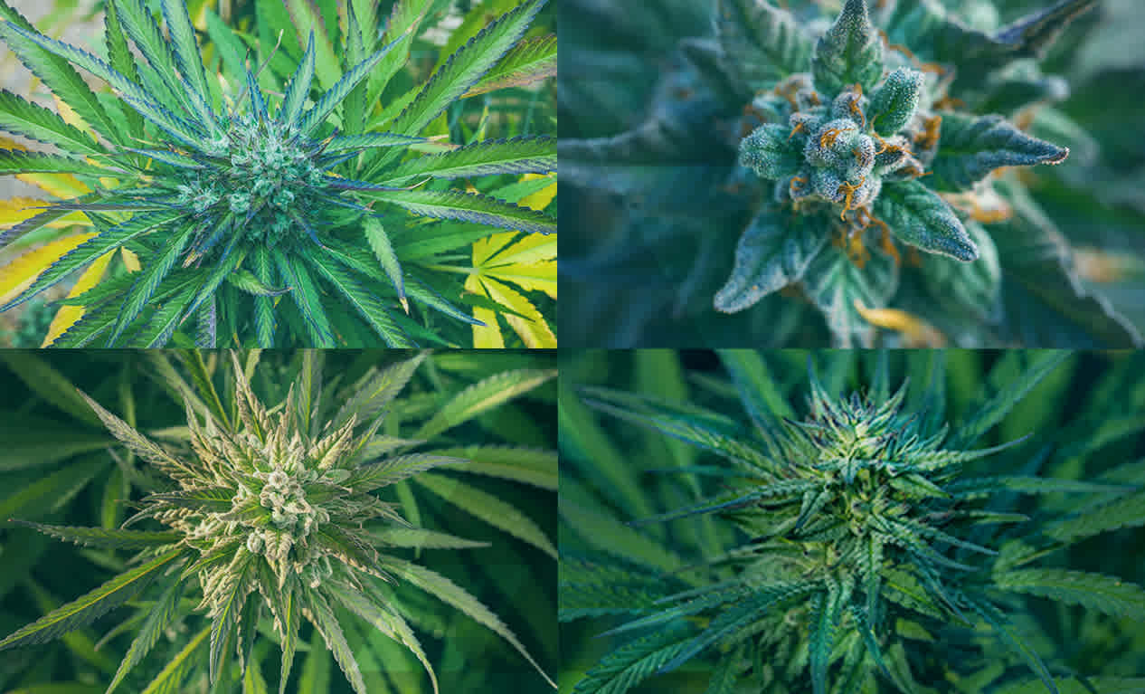 11 30 17cannabisdnagf live site image (1) video